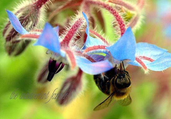 Bee macro honey borage