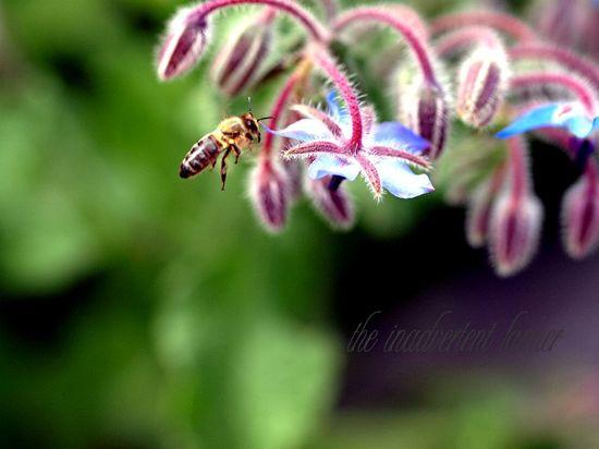 Bee honey fly borage flight herb flower