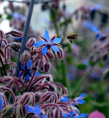 Bee borage honey herb fly