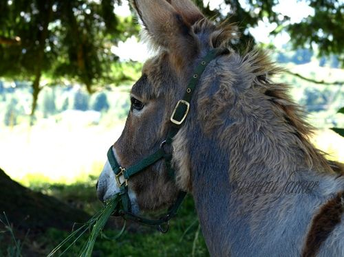 Donkey juvenile female eat