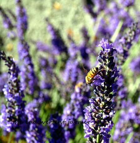 Lavender honey bee purpls
