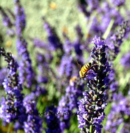 Lavender honey bee purpls