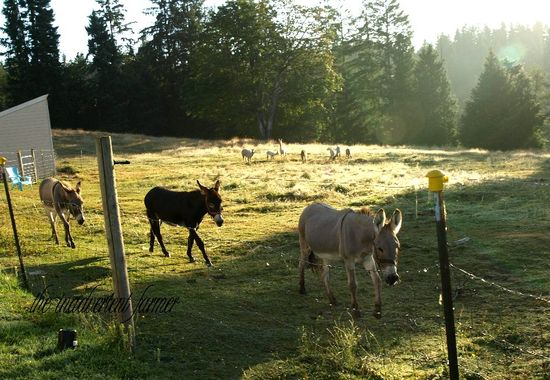Donkey pasture dawn follow