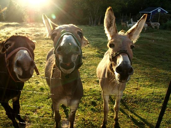 Donkeys silly faces dawn