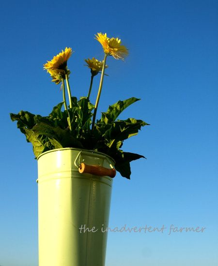 Daisies in the blue sky gerbera yellow