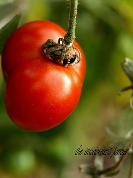 Tomato red september garden
