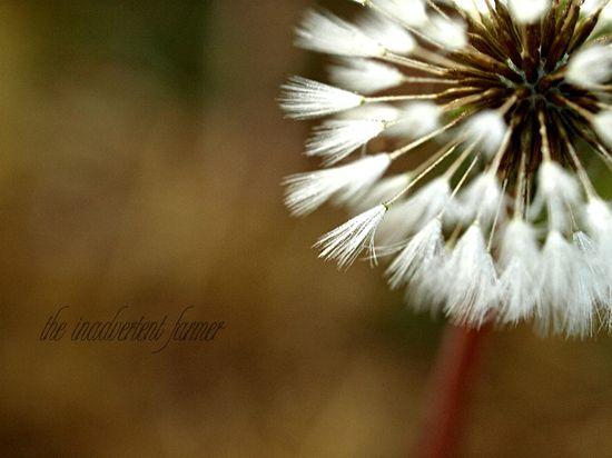 Dandelion seed puff dawn