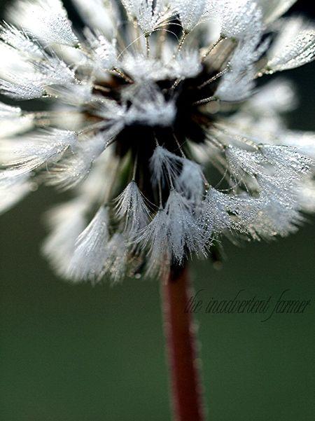 Dandelion seed macro dew