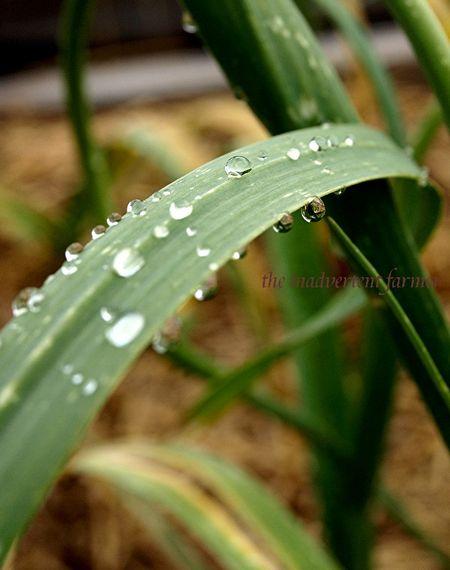 Raindrops on garlic