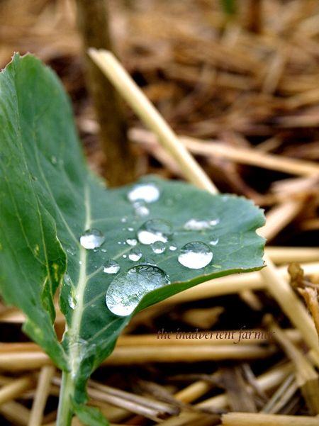 Raindrop on cauliflower