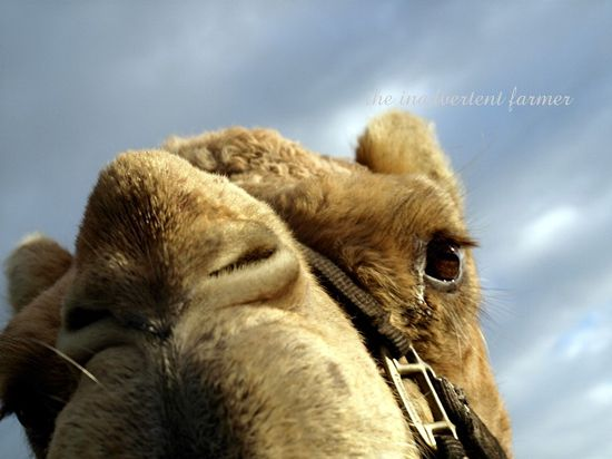 Gizmo camel macro blue sky winter