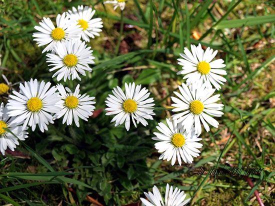 Daisy small bunch