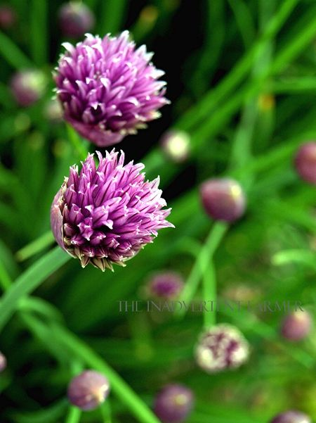 Chives purple garlic bokeh green