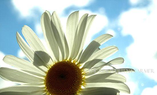 Daisy blue sky clouds sunlight