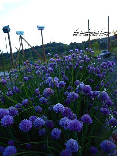 Chives field sunset evening birdhouses