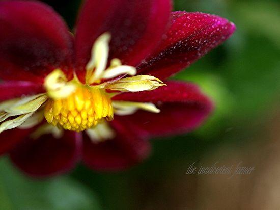Dahlia red white yellow macro bokeh