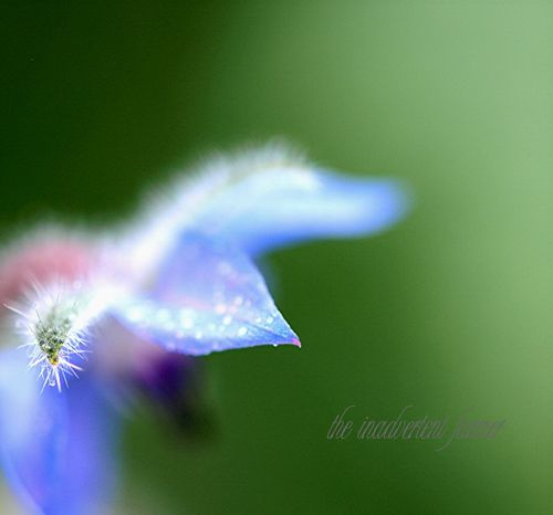 Borage macro hair bokeh blue