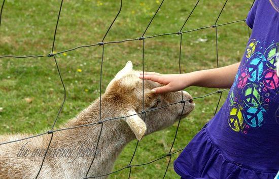 Goat pygmy girl pet