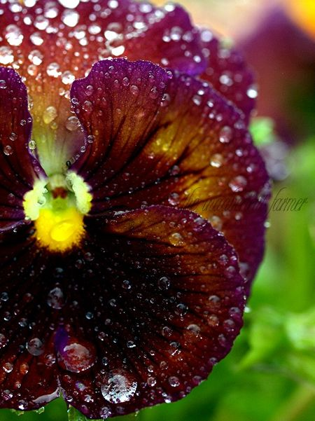 Pansy raindrops water macro drops