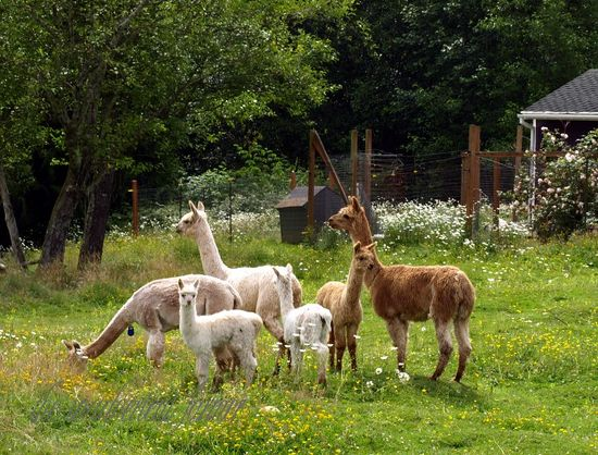 Alpacas herd cria white brown farm