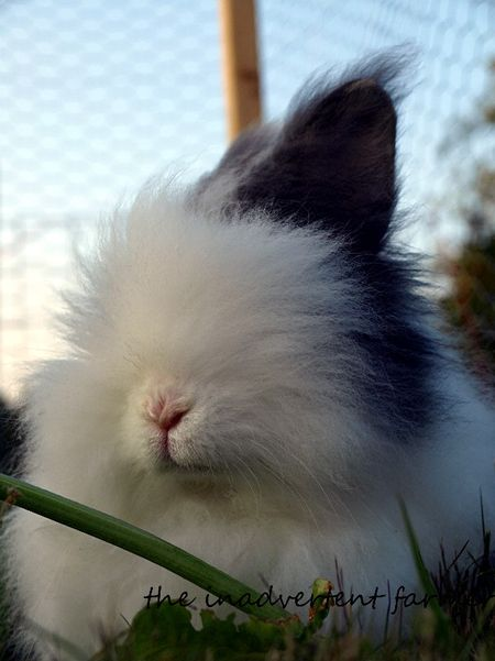 Rabbit lionhead black white long hair