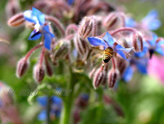 Bee honey borage herb garden