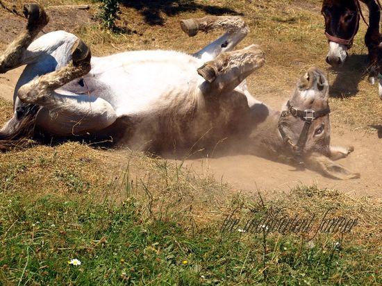 Donkey dust bath roll