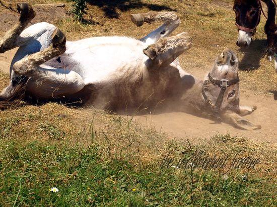 Donkey dust bath roll