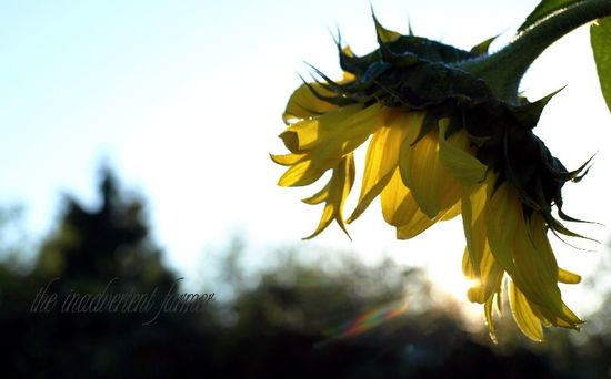 Sunflower sun flare dawn bokeh