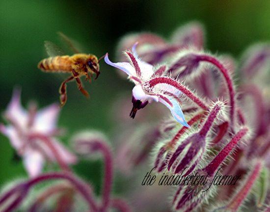 Bee honey fly borage macro