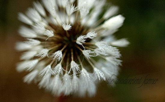 Dandelion silk macro seed