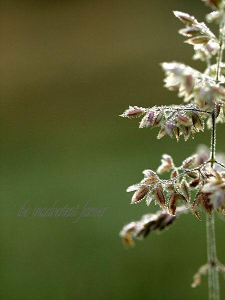 Weed grass seeds macro