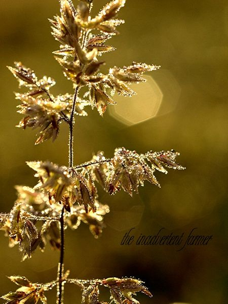 Weed bokeh sunrise dew light