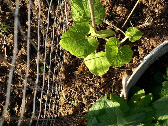 Maze gourd seedling