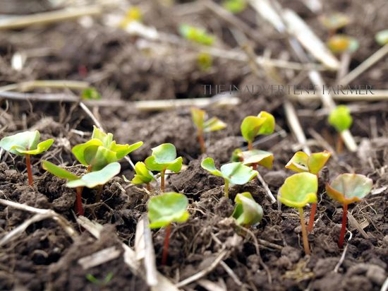 Buckwheat sprouting garden covercrop