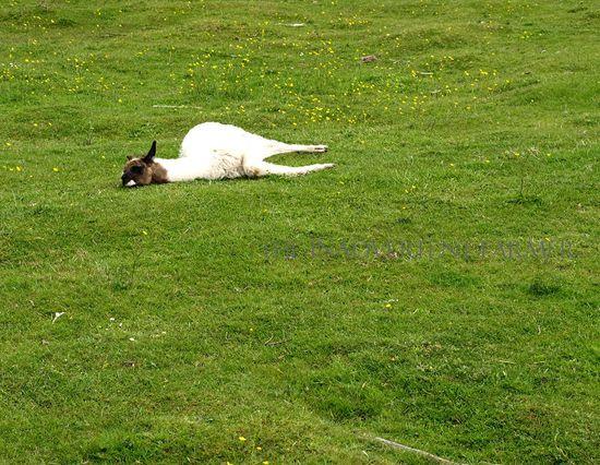 Llama cria black white sleep