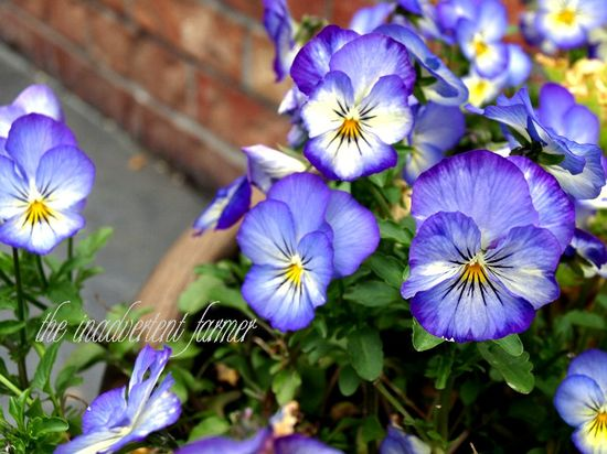 A pansies blue yellow pot