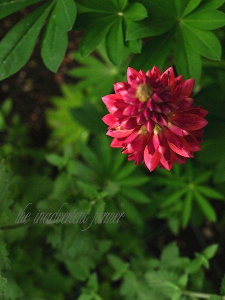 A garden lupin rose tip