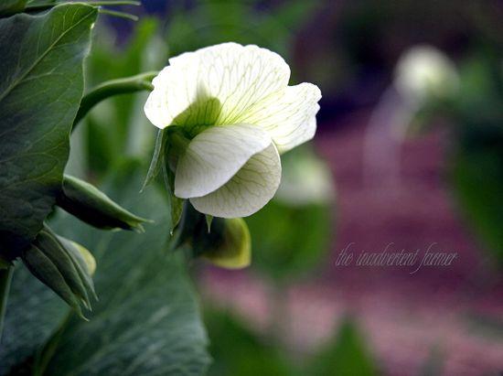 Pea blossom glow white