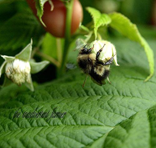 Bee raspberry macro bumble legs blossom