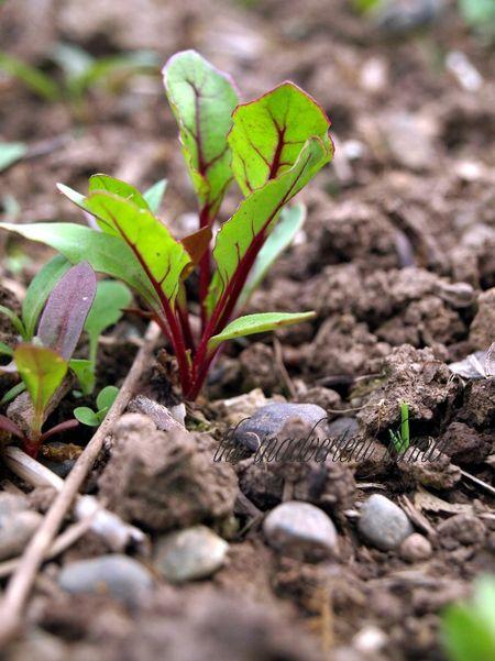 Beet sprout soil bokeh