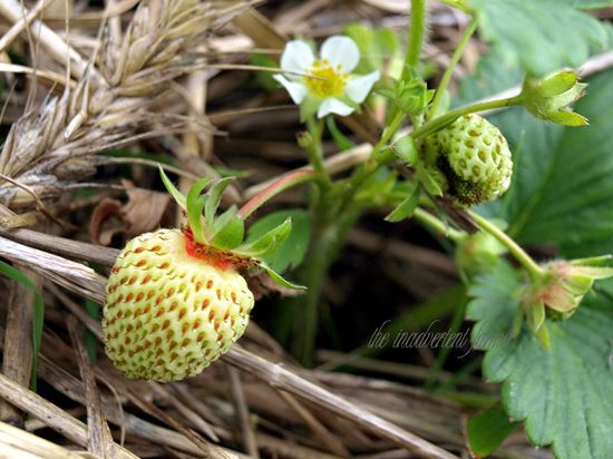 Strawberry baby blossom mulch