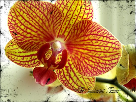 Orchid yellow pink stripes