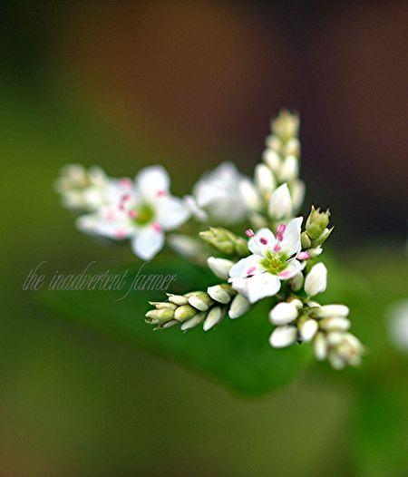 Buckwheat blossom white flower macro pink