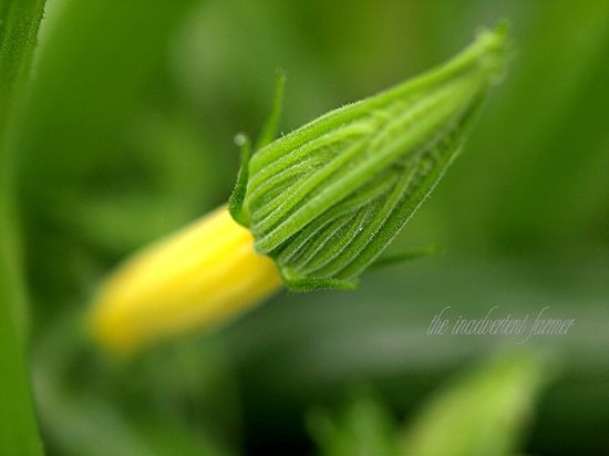 Zuchinni yellow blossom macro bokeh