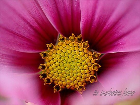 Cosmo macro center pollen flower