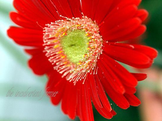 Gerbera daisy red yellow macro