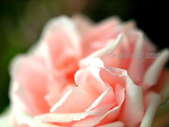 Rose pink dew macro saturated