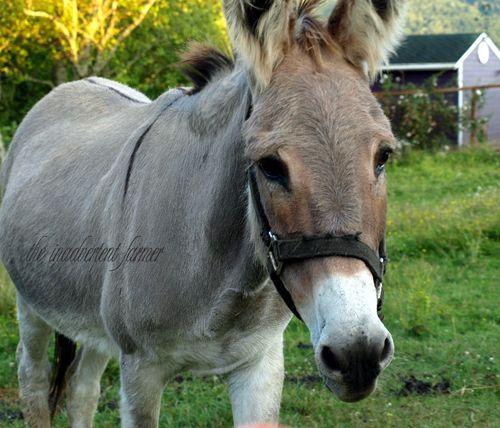 Donkey jennifer female evening