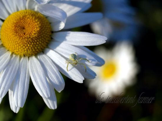 Spider white on daisy